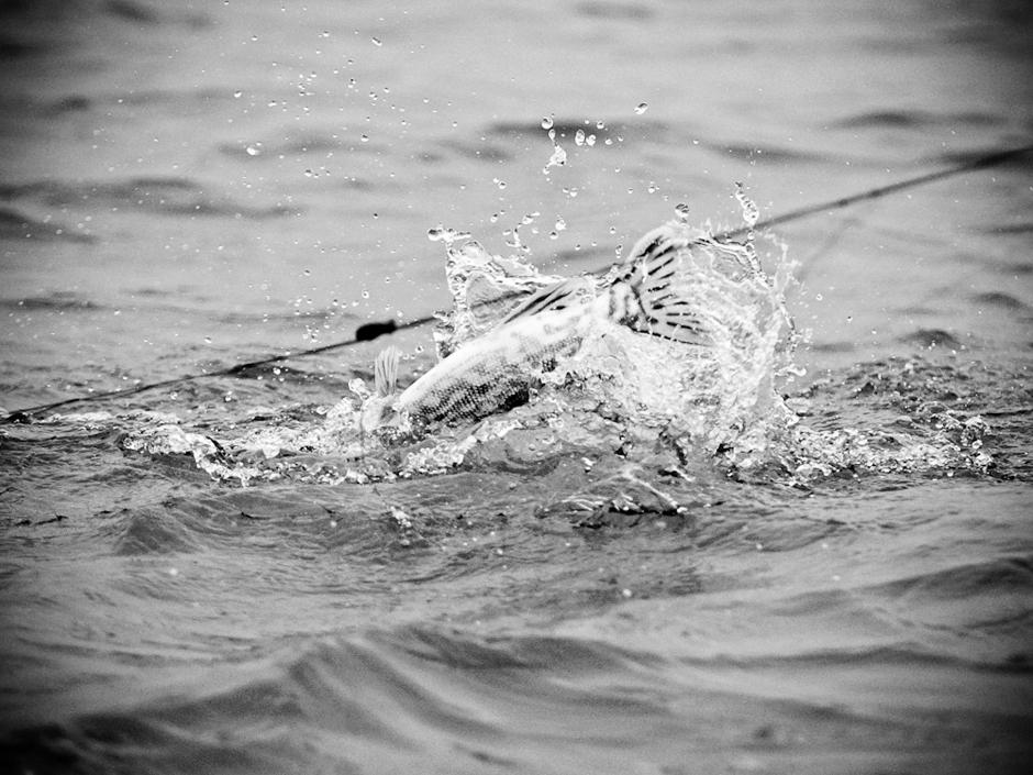 Paskutiniai žuvies pasipliuškenimai. © Karolis Kavolėlis
