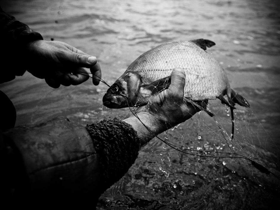 Spurdėdamos žuvys tinkluose juos sumazgo. Tenka iš peties paplušėti. © Karolis Kavolėlis