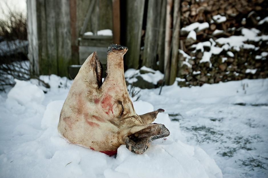 Kiaulės galva padedama ant sniego krūvos tam, kad nubėgtu kraujas ir greičiau atšaltų. Tai tikras delikatesas. Iš jos bus gaminama šaltiena. © Vladimiras Ivanovas