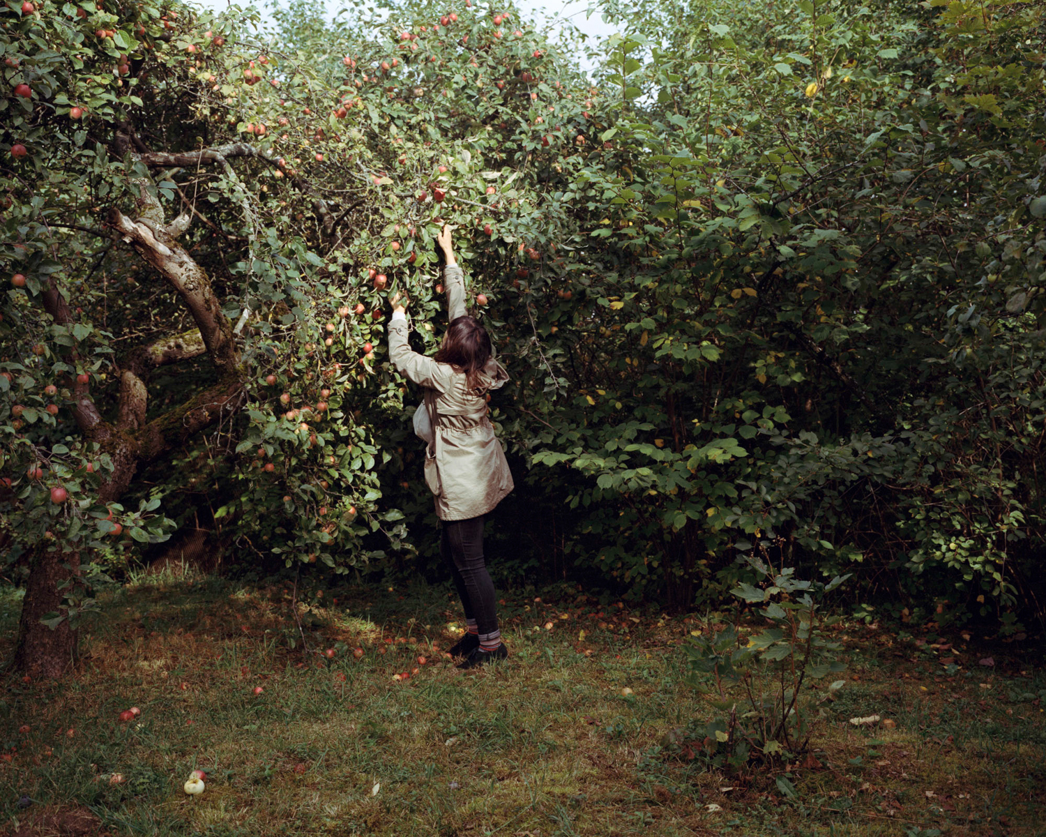Girl picking some apples in a garden in Kaunas, Lithuania, September 2015.